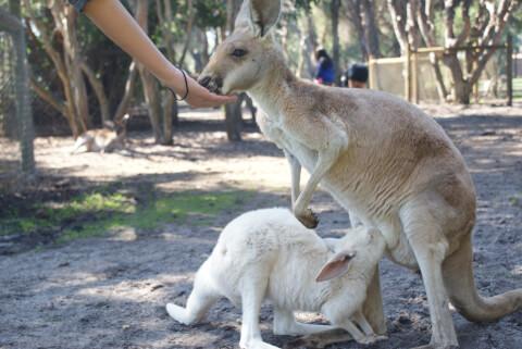 授乳するカンガルーと子ども