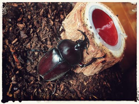 昆虫ゼリーとカブトムシ