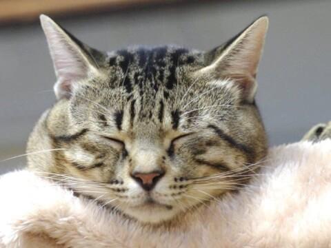 キジトラ 猫 性格 サバトラ 雑種 白