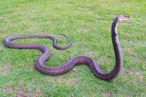 コブラ 蛇 種類 特徴 模様 毒 日本