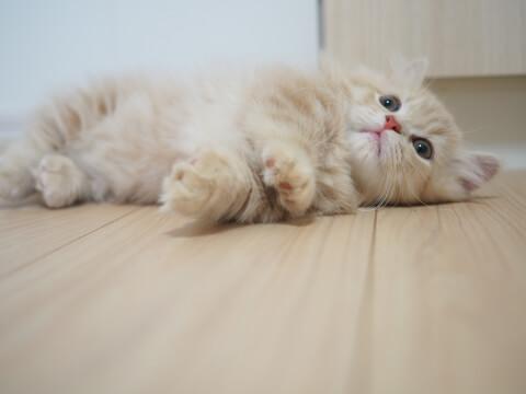 お腹を見せるキンカローの子猫