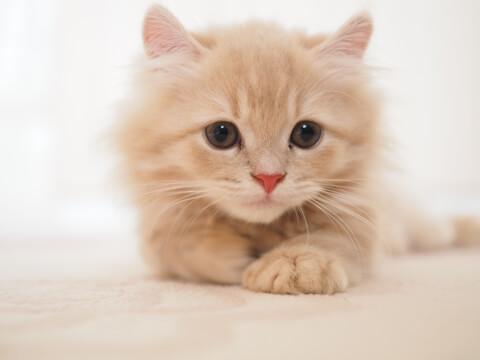 正面を向くオレンジのキンカローの子猫