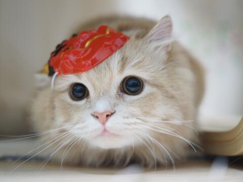 おめんをつけたキンカローの子猫