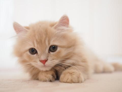 サムネイルと同じキンカローの子猫