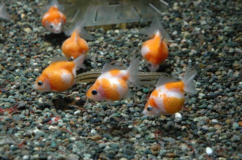 ピンポンパール 金魚鉢