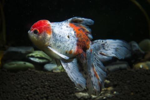 金魚鉢 オランダ