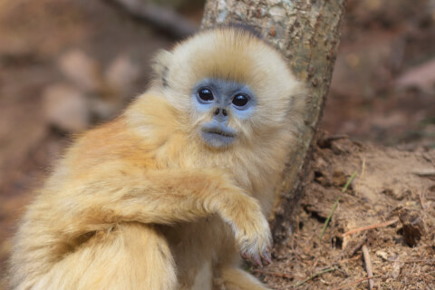 キンシコウ けものフレンズ けもフレ 猿 日本 孫悟空 赤ちゃん 生態