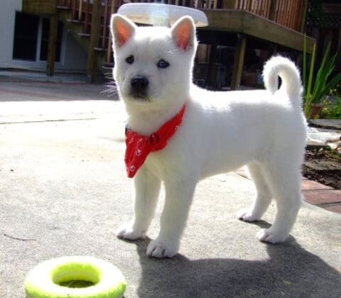 強い日本犬、紀州犬の魅力や飼い...