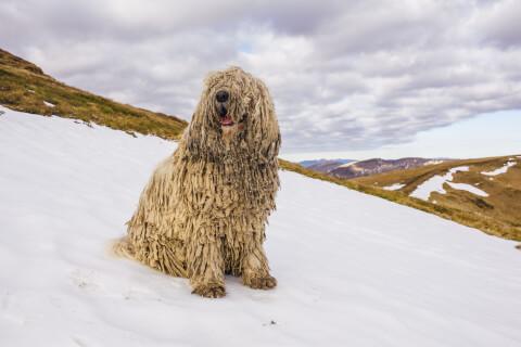 雪山にいるコモンドール