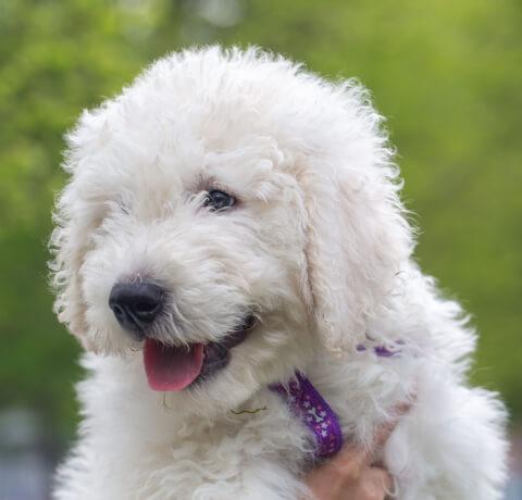 抱かれるコモンドールの子犬