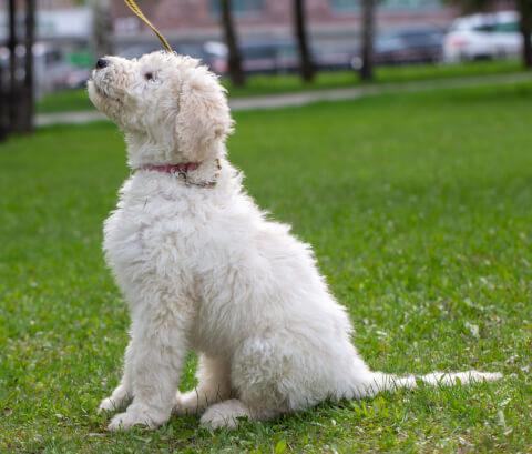 お座りをするコモンドールの子犬