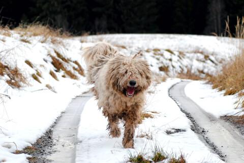 雪の中を走るコモンドール