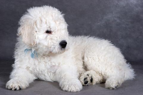 コモンドールの子犬