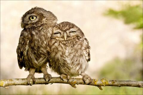 寄り添う2羽のコキンメフクロウ