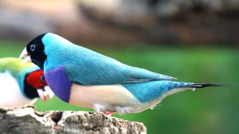 ブルーのコキンチョウ