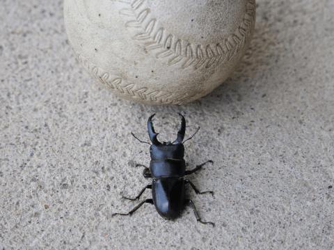 コクワガタ 野球ボール