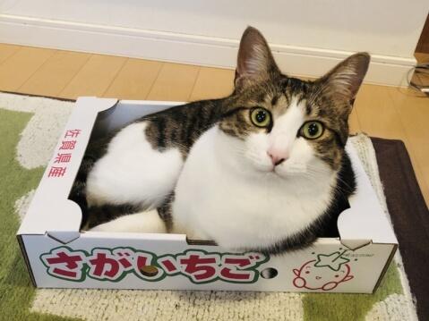 いちごの箱に入る猫