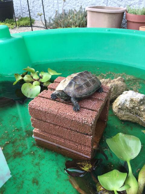 緑色の桶で飼育されているクサガメ
