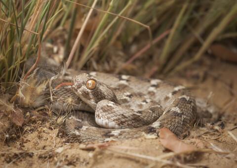コブラ 蛇 種類 特徴 模様 毒 日本 カーペットバイパー