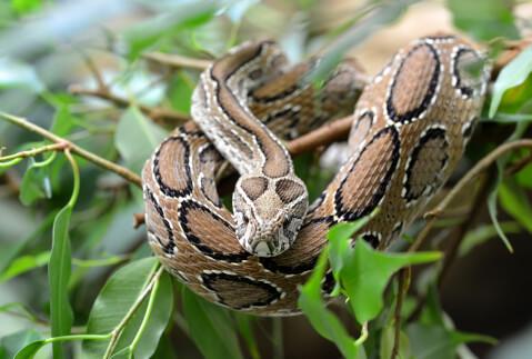 コブラ 蛇 種類 特徴 模様 毒 日本 ラッセルクサリヘビ