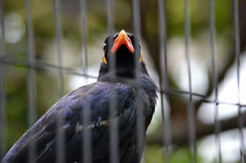 九官鳥 寿命 鳴き声 喋る 販売 価格 ペット