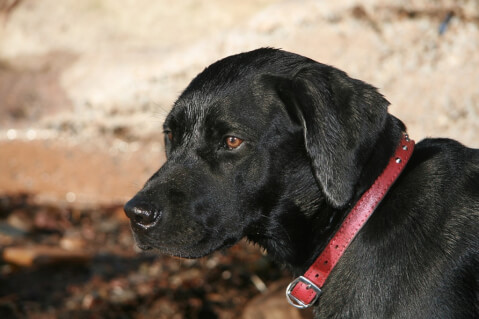 labrador-retriever3