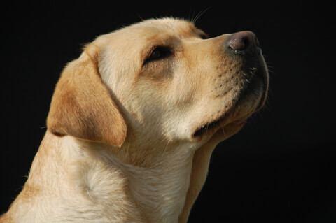 labrador-retriever6