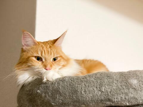 猫 メインクーン お留守番