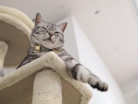 猫 キャットタワー アメショー