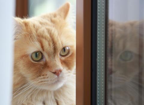 猫 成猫 留守番 ラガマフィン
