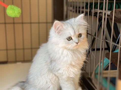 子猫 留守番 ケージ ペルシャ