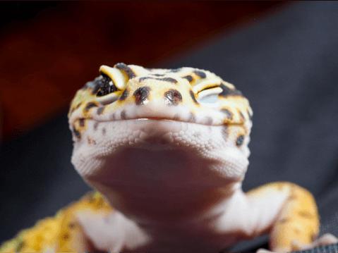 ヒョウモントカゲモドキ レオパードゲッコー 餌  温度 種類 飼育 かわいい