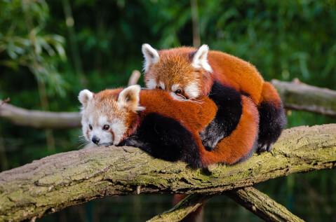 life_of_red_panda