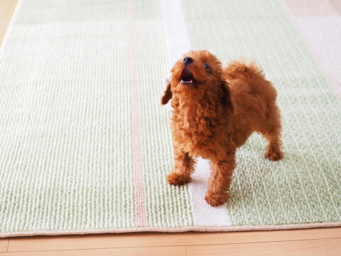 poodle_act