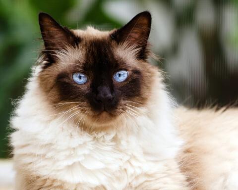 ヒマラヤン 猫 長毛種 人気