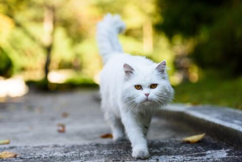 ペルシャ 猫 長毛種 人気