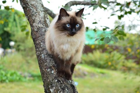 バリニーズ 猫 長毛種 人気