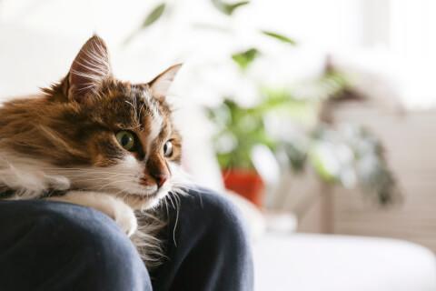 ラガマフィン 猫 長毛種 人気