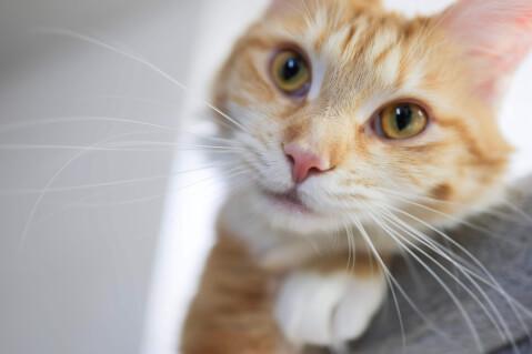 メインクーン 猫 長毛種 人気