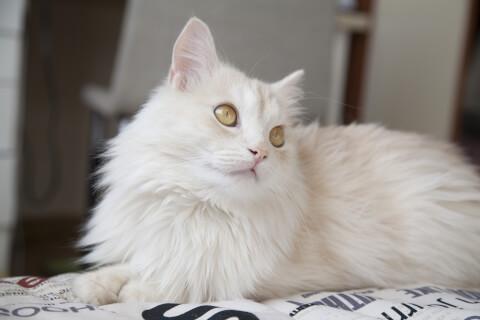 ターキッシュアンゴラ 猫 長毛種 人気