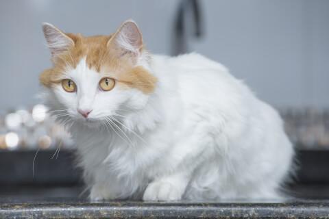 ターキッシュバン 猫 長毛種 人気