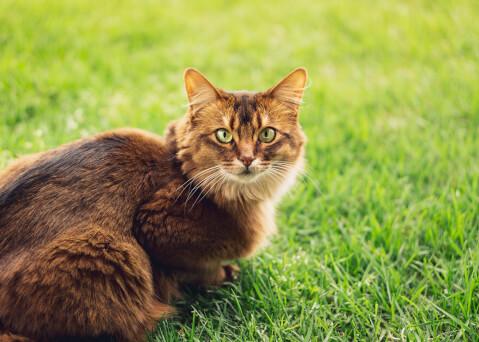 ソマリ 猫 長毛種 人気
