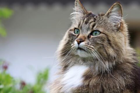 ノルウェージャンフォレストキャット 猫 長毛種 人気