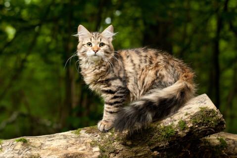サイベリアン 猫 長毛種 人気