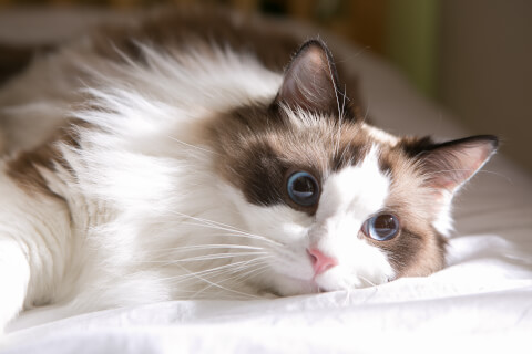 ラグドール 猫 長毛種 人気