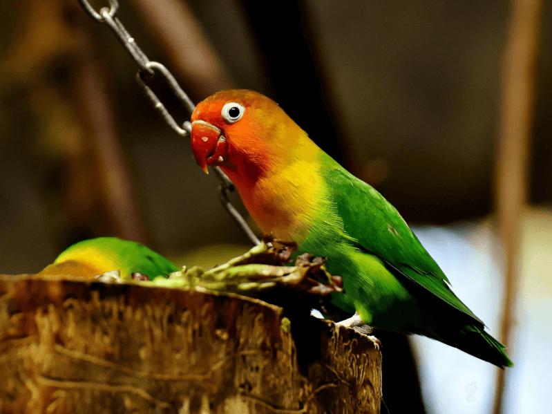 ボタンインコはどんな鳥?生態や...
