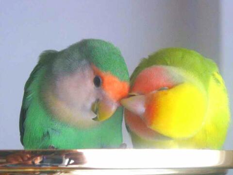 lovebird-pale-couple