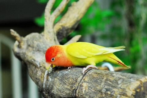 lovebird-yellow