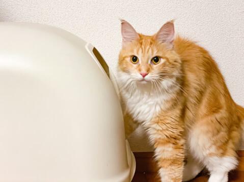 猫 トイレ メインクーン 大型猫