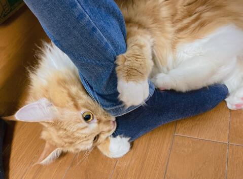 猫 メインクーン 甘噛み